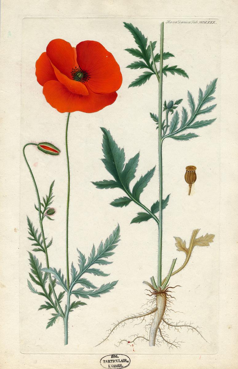FOREDRAG: Flora Danica – verdens største farveflora